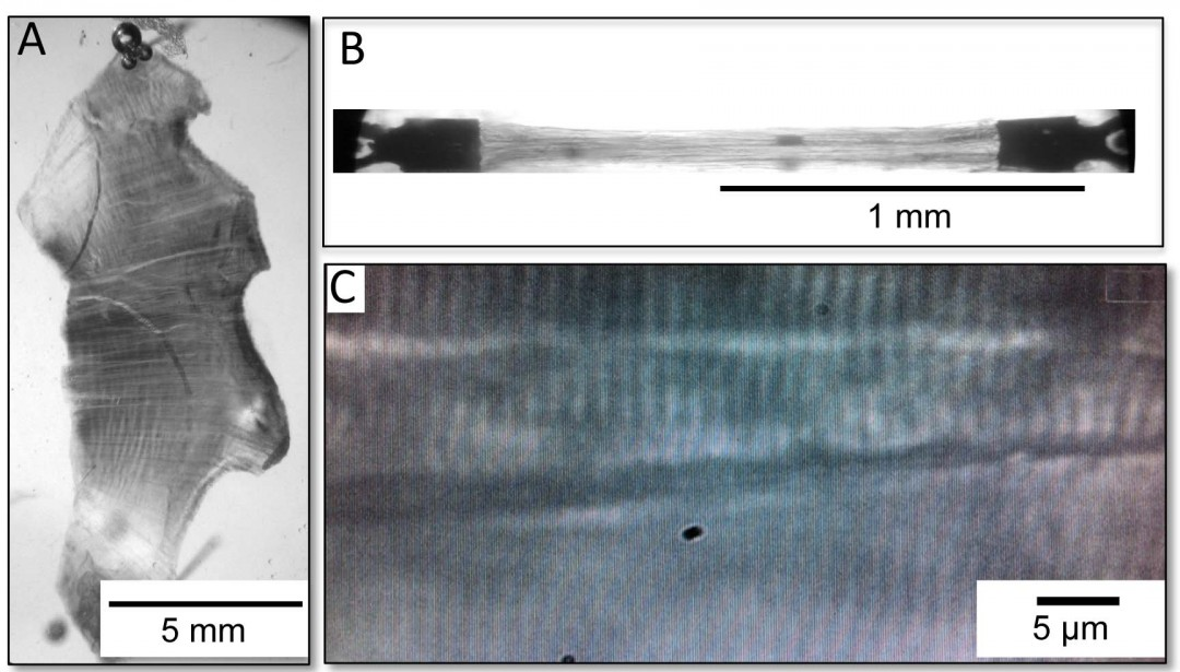 Remodeling of the mouse diaphragm during the development of heart failure