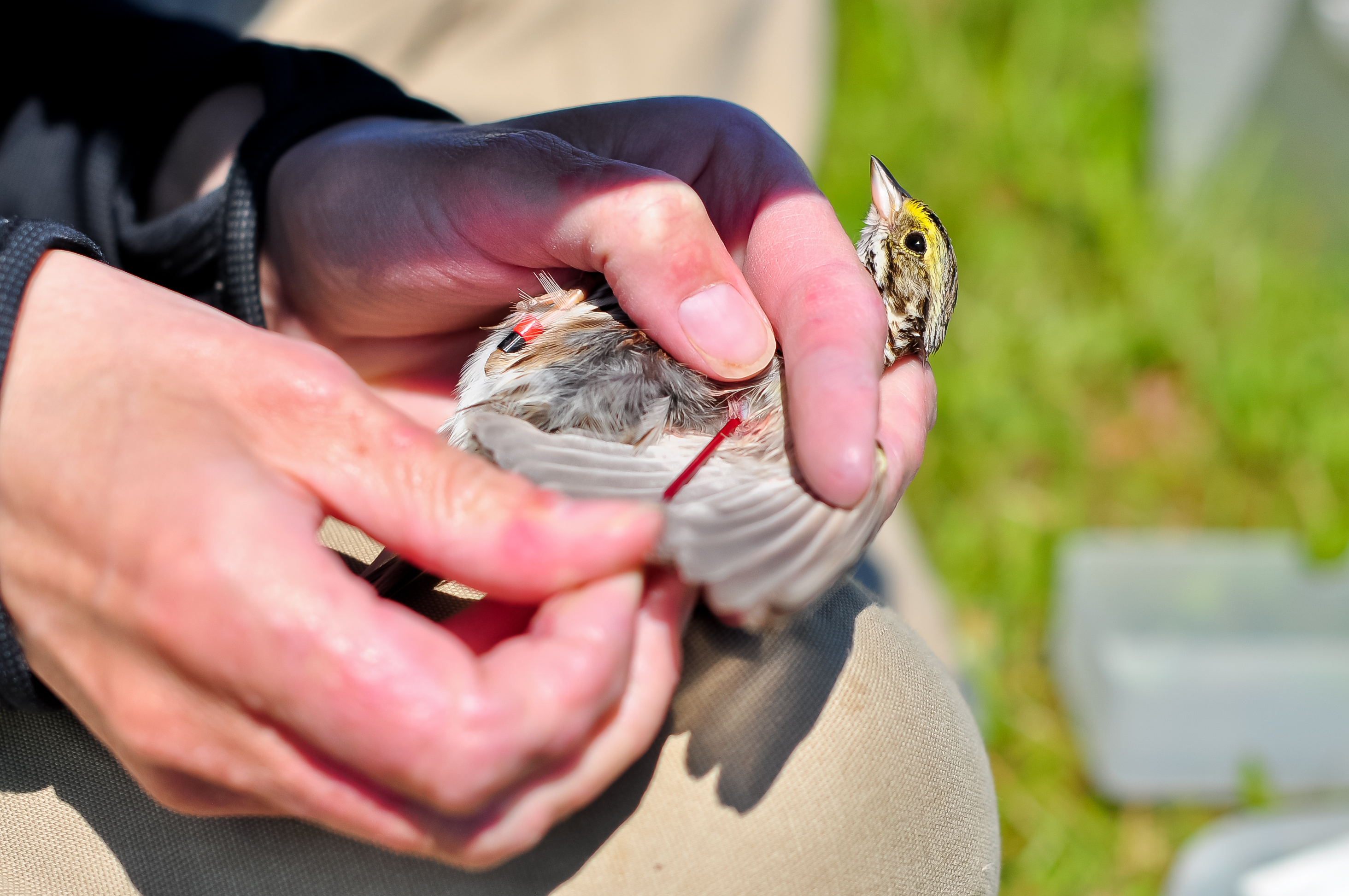 Amy collects blood from an Savannah sparrow